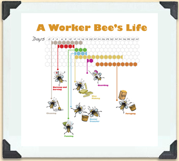 Timeline showing the changing roles of worker bees.
