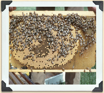 Old or inexperienced new queen bees fail to fill all the cells on a brood frame.