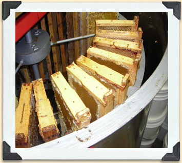 In a radial extractor, centrifugal force pulls the honey out of the uncapped frames. Such machines range in capacity based on the number of frames they can hold.