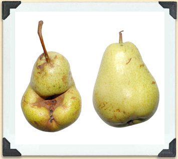 If a fruit tree's flowers are not sufficiently pollinated, its fruit can be misshapen, like the pear on the left.