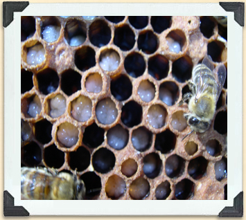 Worker bees feed the larvae in the cells of a brood box.