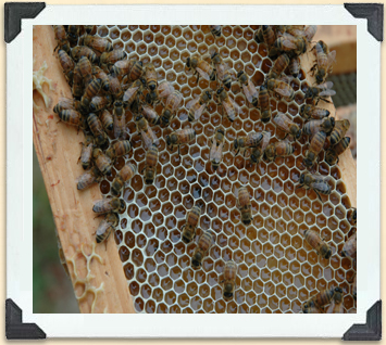 Worker bees fill the cells with honey prior to capping them with wax.