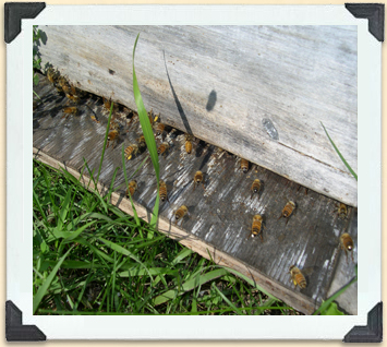 These bees are busy fanning and communicating with each other on the hive landing board.