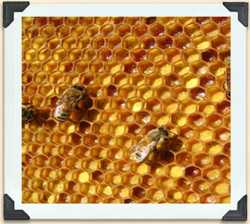 Bees on a frame of cells full of pollen.