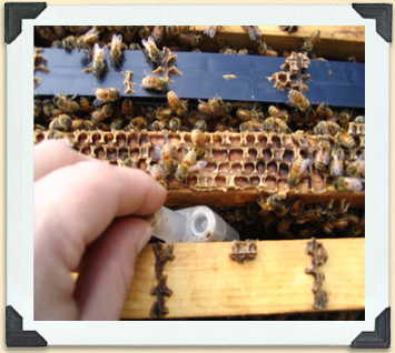 The new queen in her travelling cage is inserted between two frames: her new colony of bees get used to her smell, chew through the seal and release her.