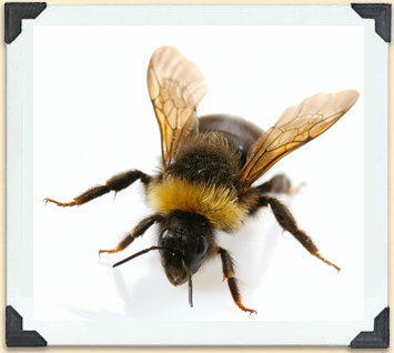 Like honeybees, bumblebees are hairy and have bands on their abdomen, but they are much fatter.