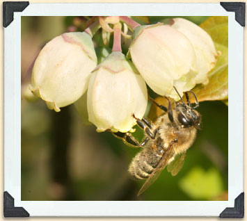 Honeybees are raised to pollinate crops, such as these blueberries, and for their honey production.
