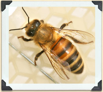 The Russian bee is being bred in Canada because of its resistance to varroa mites and disease.