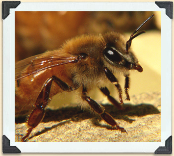 Italian bees were the first strain imported to North America in the eighteenth century and remain very popular today.