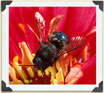 Orchard mason bees are increasingly being used to pollinate field crops such as blueberries.