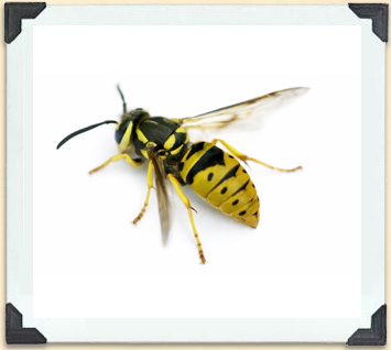 Yellowjackets are often confused with bees because of the bands on their abdomen.